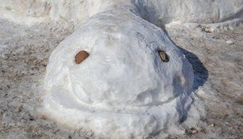 لاکپشت برفی