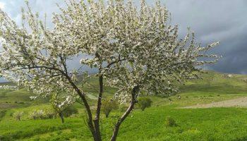 تک درخت بهاری در دامنه سرسبز کوهستان بوزقوش