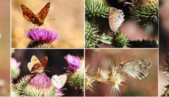 پروانه های زیبای طبیعت کاغذکنان میانه