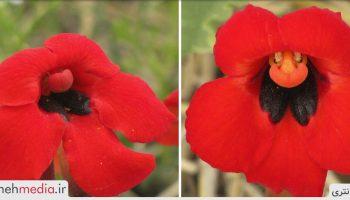 گل خون سیاوش