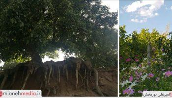 درخت نقاب
