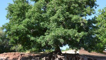 درخت نقاباد